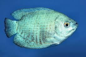 Family Osphronemidae Powder Blue Dwarf Gourami Coral Trichogaster Lalius Cf