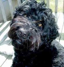 Portuguese Water Dog Shedding Problems by Portuguese Water Dogs Will Be Ruined Natural History