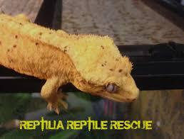 Crested Gecko Shedding Behavior by Adoption Success Stories