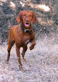 Do Vizsla Dogs Shed by Redbirddog A Hungarian Pointer Vizsla Blog July 2011