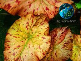 tiger lotus live aquarium plant free ship inv ebay
