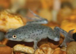 Do Aquatic Dwarf Frogs Shed Their Skin by African Dwarf Frog Care Sheet Classroom Pinterest Dwarf