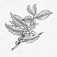Coffee Plant Clipart Eggplant