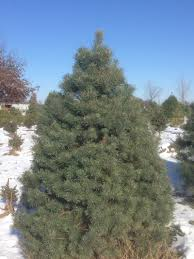 Canaan Fir Good Christmas Tree by Tree Varieties Young U0027s Christmas Tree Farm