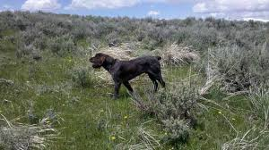Griffon German Wirehaired Pointer Shedding by Wirehaired Pointing Griffon Questions U2022 General Chat Gun Dog