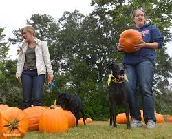 Snohomish County Pumpkin Patches Corn Mazes by Corn Mazes And Pumpkin Patches The Seattle Times