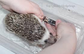 Ceramic Heat Lamp For Hedgehog by Top Quality Hedgehogs Recipes U0026 More