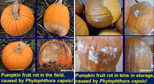 Keep My Pumpkin From Rotting by Illinois Fruit And Vegetable News