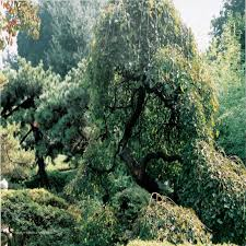 Mulberry Weeping In The Landscape