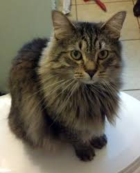 forest cat vs maine coon maine coon forest cat mix assistedlivingcares