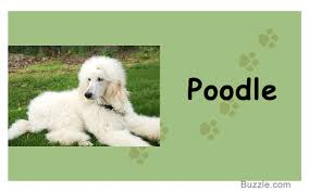 Guard Dogs That Dont Shed by Calm Non Shedding Dog Breeds Dog Breeder