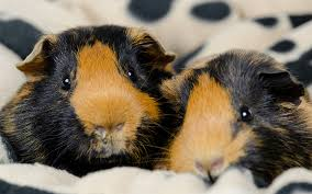 Pine Bedding For Guinea Pigs by Best Bedding For Guinea Pigs Reviews And Tips For Making The