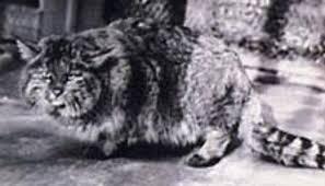 mountain cat mountain cat facts big cat rescue