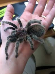 Tarantula Shedding Skin Time Lapse by 162 Best Tarantulas Images On Pinterest Spiders Nature And