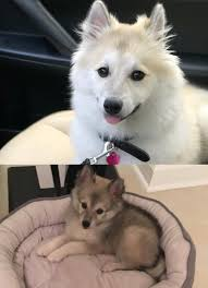 Do Pomskies Shed Fur by This Is Moonlight Before And After Her Coat Change And She U0027s Not