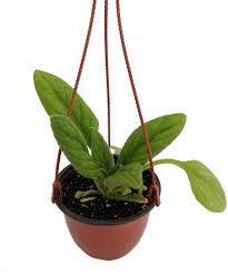 100 Blooming House Aiko Asian Violet Primulina 6 Hanging Pot Easy Plant