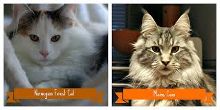 forest cat vs maine coon maine coon vs forest cat pretty strange flickr