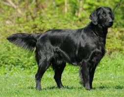 Chesapeake Bay Retriever Molting by The Flat Coated Retriever Distinct Breed From Its Lab Or Golden