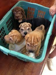 Do Shar Peis Shed A Lot by 72 Best Shar Pei Images On Pinterest Dogs Puppies And Shar Pei