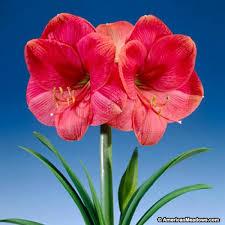 best seller amaryllis bulb hippeastrum american