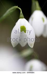 snowdrop bulb stock photos snowdrop bulb stock images alamy