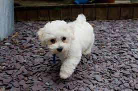 Best Mini Dogs That Dont Shed by 10 Cute Dogs That Stay Small And Don U0027t Shed Hubpages
