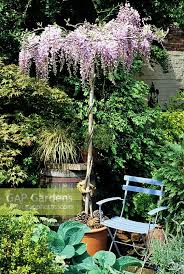 planting wisteria in a pot gap gardens wisteria umbrella imported from italy growing in a