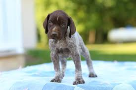 German Wirehaired Pointer Shedding by Great Dog Breeds German Shorthaired Pointer