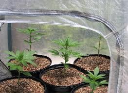 comment faire pousser du cannabis le guide définitif