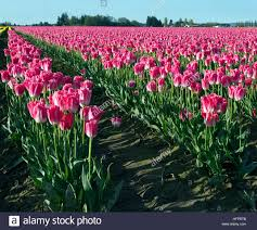 wa13054 00 washington pink tulips growing in a commercial bulb