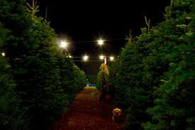 Christmas Tree Disposal Nyc 2015 by Local Christmas Tree Farms Conejo Valley Ventura County