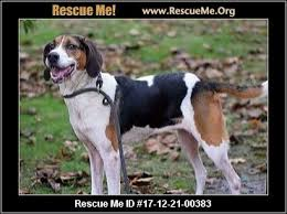 Do Treeing Walker Coonhounds Shed by Ohio Treeing Walker Coonhound Rescue U2015 Adoptions U2015 Rescueme Org
