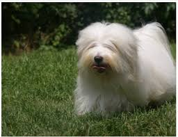 what are some small hypoallergenic dog breeds that don t shed or