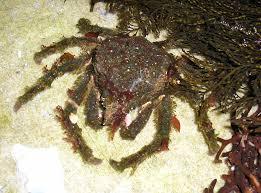 Decorator Crab Tank Mates by Decorator Crab Tank Mates 28 Images Decorator Crab With Pom