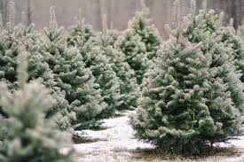 Balsam Christmas Tree Australia by Shopper U0027s Diary A Christmas Tree Farm In Maine Gardenista