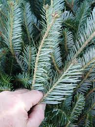 Balsam Christmas Tree Care by It U0027s Not Easy Growing A Christmas Tree George Weigel Pennlive Com