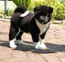 Do Akita Dogs Shed Hair by 17 Best Images About Akita On Pinterest Names Cas And Akita Dog