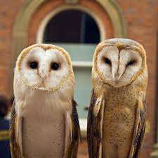 Barn Owl (Tyto Alba) | Onyx (on The Left) Is A British Male … | Flickr Barn Owl Tyto Alba Onyx On The Left Is A British Male Flickr Fimale 3 6942373687jpg Wikimedia Commons Ruffled Feathers November 2014 Mysterious Wise Barn Owl In Shadows Nocturnal Hunter World Bird Sanctuary January 2013 Owls Ghosts And Noises Night The Trust Lone Pine Koala Owlline Owllinelovers Twitter Audubon Field Guide A Brief Introduction To Common Types Of Barney California Raptor Center Connecticuts Beardsley Zoo