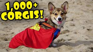 1000 CORGIS IN COSTUME World s st Corgi Party Life