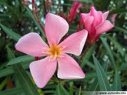 laurier nerium oleander conseils de culture