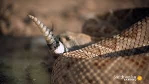 what is a rattlesnake s rattle actually made of smithsonian