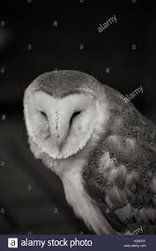 Black And White Owl Stock Photos & Black And White Owl Stock ... Black Barn Owl Oc Eclipse By Pkhound On Deviantart Closeup Of A Stock Photo 513118776 Istock Birds Of The World Owls This Galapagos Barn Owl Lives With Its Mate A Shelf In The Started Black Paper Today Ref Paul Isolated On Night Stock Photo 296043887 Shutterstock Stu232 Flickr Bird 6961704 Moonlit Buttercups Moth Necklace Background Image 57132270 Sd Falconry Mod Eye Moody