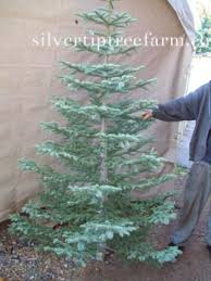 Silvertip Christmas Tree Orange County by 9 Best I Want This Christmas Tree Images On Pinterest Christmas