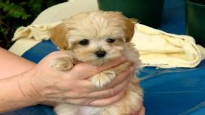 Miniature Dog Breeds That Dont Shed by Cutest Puppies That Stay Small Qemistry Us