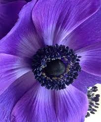 11 best images on flowers anemones and