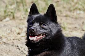 Dogs That Shed Very Little by Schipperke Dog Breed Information Pictures Characteristics