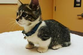 munchkins cats 21 reasons why munchkin cats are for this world
