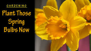 gardening plant those flowering bulbs right now carycitizen