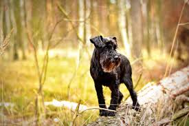 Do Giant Schnauzer Dogs Shed Hair by Five Dog Breeds That Don U0027t Shed U2013 Project Pawsitivity