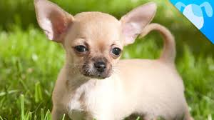 Small Dogs That Dont Shed Hair by Chihuahua Facts Youtube